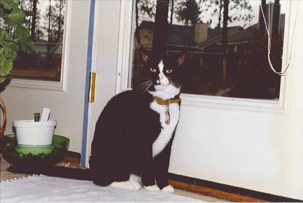 Image of Clyde - Feline with Arthritis