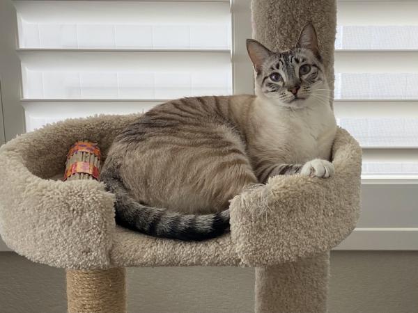 Image of Finn - Feline with Gingivostomatitis